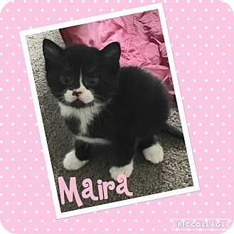 Domestic Shorthair Kitten for adoption in Mount Laurel, New Jersey - Maira (Hera's baby)