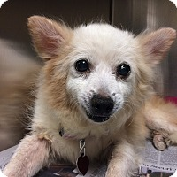 Chihuahua/Terrier (Unknown Type, Small) Mix Dog for adoption in Philadelphia, Pennsylvania - CHACHI!