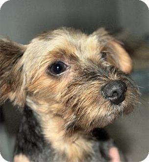 Yorkie, Yorkshire Terrier Mix Dog for adoption in Waupaca, Wisconsin - Jessie