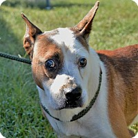Terrier (Unknown Type, Medium)/Pointer Mix Dog for adoption in Lincolnton, North Carolina - Spike