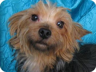 Yorkie, Yorkshire Terrier/Poodle (Miniature) Mix Dog for adoption in Cuba, New York - Casey Yorkie
