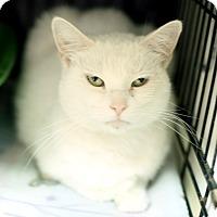 Domestic Shorthair Cat for adoption in Appleton, Wisconsin - Vidalia