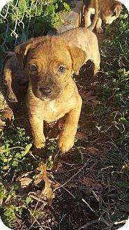Beagle/Terrier (Unknown Type, Medium) Mix Puppy for adoption in Glastonbury, Connecticut - Laffy Taffy