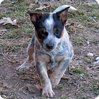 Beagle/Australian Cattle Dog Mix Puppy for adoption in Kittery, Maine - Star