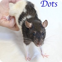 Adopt A Pet :: Dots - Bradenton, FL