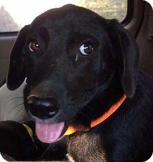 Labrador Retriever Puppy for adoption in Boston, Massachusetts - London