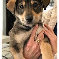 Adopt A Pet :: Laika - Los Alamitos, CA