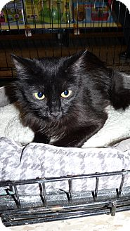 Domestic Longhair Cat for adoption in Bentonville, Arkansas - Rosie