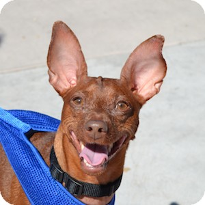 Miniature Pinscher Dog for adoption in Gilbert, Arizona - Mojo Houdini