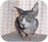Sphynx Cat for adoption in Scottsdale, Arizona - Cleo
