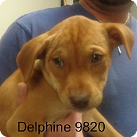 Adopt A Pet :: Delphine - baltimore, MD