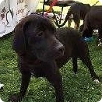 Adopt A Pet :: BLACK LAB MALE (2) - Pompton lakes, NJ
