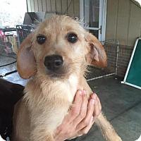 Adopt A Pet :: Daisy - Spartanburg, SC