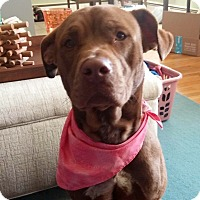 Adopt A Pet :: Katie in CT - Manchester, CT