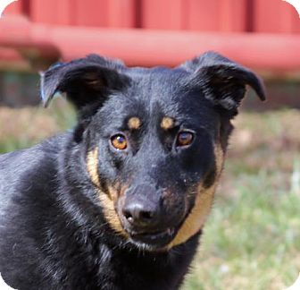 Shepherd (Unknown Type) Mix Dog for adoption in Asheville, North Carolina - Rexi