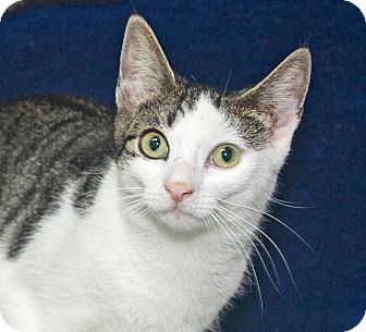 Domestic Shorthair Kitten for adoption in Elmwood Park, New Jersey - Amber