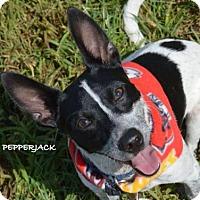 Adopt A Pet :: Pepperjack - Independence, MO