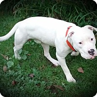 American Bulldog/Pit Bull Terrier Mix Dog for adoption in Sharon Center, Ohio - Blue