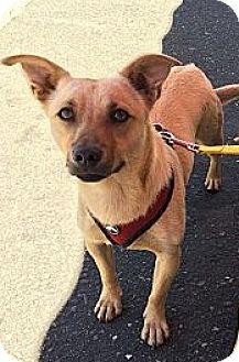 Corgi/Catahoula Leopard Dog Mix Dog for adoption in Oakdale, California - Sadie