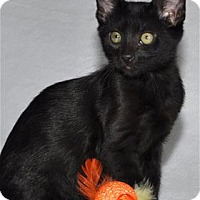 Domestic Shorthair Kitten for adoption in Lincoln, California - Brando