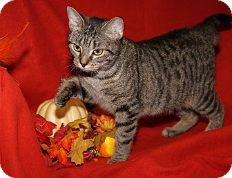 Domestic Shorthair Cat for adoption in Marietta, Ohio - Lily (Spayed/Comb'd)-Update