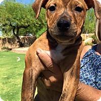 Adopt A Pet :: Dexter - Scottsdale, AZ