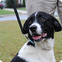 Adopt A Pet :: Misty - Charlotte, NC