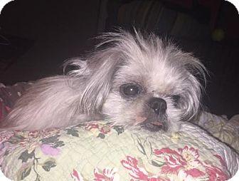 Shih Tzu Dog for adoption in Gilbertsville, Pennsylvania - Peggy