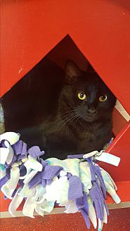 Domestic Shorthair Cat for adoption in yuba city, California - Abra