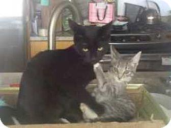 Domestic Shorthair Kitten for adoption in New York, New York - Dream Kitties JOLIE & RONRONR