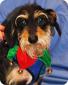 Dachshund Dog for adoption in Omaha, Nebraska - Groot-Pending Adoption