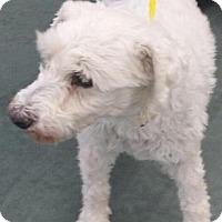 Adopt A Pet :: Tyler - Las Vegas, NV