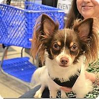 Adopt A Pet :: Mickey - Tavares, FL