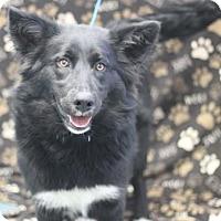 Adopt A Pet :: Vivi - Walla Walla, WA
