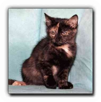 Domestic Shorthair Kitten for adoption in Howell, Michigan - Carrie