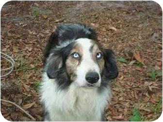 Australian Shepherd Dog for adoption in Orlando, Florida - Keifer
