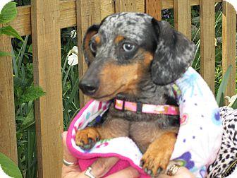 Dachshund Dog for adoption in Portland, Oregon - CANDY