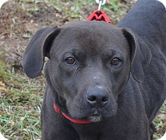 labrador retriever terrier mix marley adopted dog eighty four pa labrador 4695