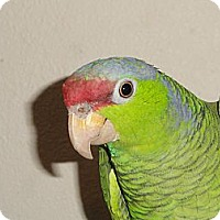 "Adopt A Pet :: ""L"" Is a 11 Year Old Lilac Cro - Vancouver, WA"