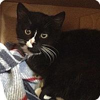 Adopt A Pet :: Ari - Island Park, NY