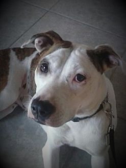 American Bulldog Mix Dog for adoption in Tampa, Florida - Sadie (th)