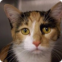 Domestic Shorthair Cat for adoption in Westville, Indiana - Ladybug