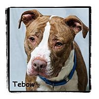Adopt A Pet :: Tebow - Warren, PA