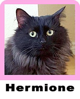 Domestic Longhair Cat for adoption in Wichita Falls, Texas - Hermione