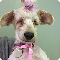 Adopt A Pet :: Lamb Chop - Las Vegas, NV