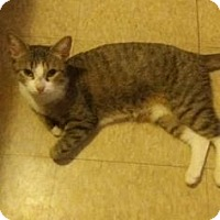 Domestic Shorthair Kitten for adoption in New York, New York - Princess
