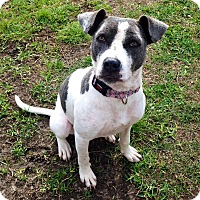 Pit Bull Terrier/Labrador Retriever Mix Dog for adoption in Vancouver, Texas - Savannah