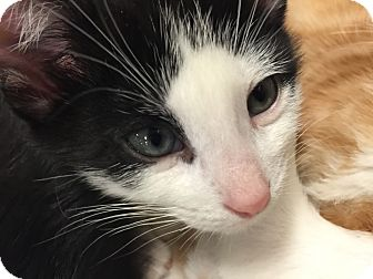 Domestic Shorthair Kitten for adoption in Greensburg, Pennsylvania - Patches