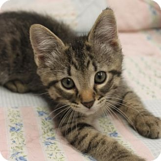 Domestic Shorthair Kitten for adoption in Naperville, Illinois - Sterling