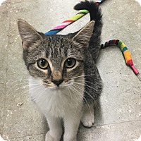 Domestic Shorthair Kitten for adoption in Verona, New Jersey - Thelma